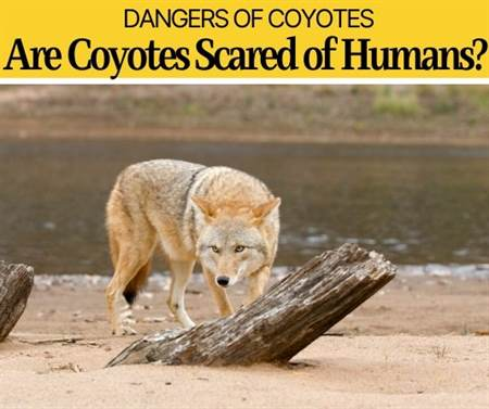 Are Coyotes Scared Of Humans? Are they Dangerous or scared?