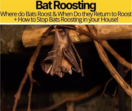 Bat Roosting & When Do bats Return to roost