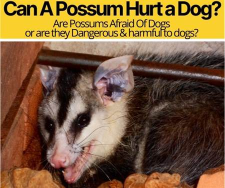 Can A Possum Hurt A Dog? - Are Possums Afraid Of Dogs?