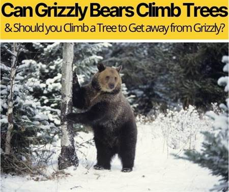 Can Grizzly Bears Climb Trees - How Fast Can They?