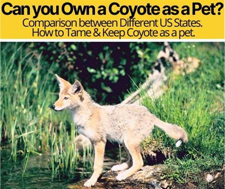 Can You Own a Coyote ,Can They be Domesticated as Pets?