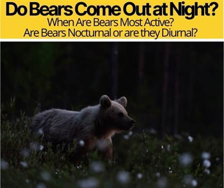 Do Bears Come Out at Night -When Are Bears Most Active?