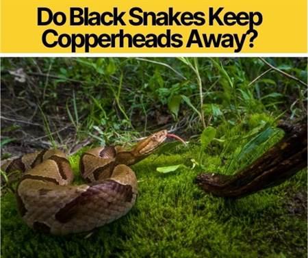 Do Black Snakes Keep Copperheads Away? Do they Eat & Kill?