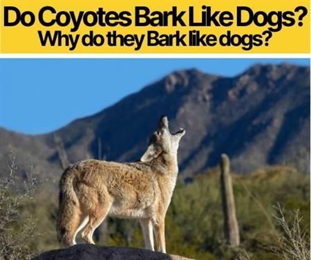 Do Coyotes Bark Like Dogs - Why Do they Bark Like A dog?