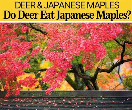Do Deer Eat Japanese Maples? Are they Deer Resistant?