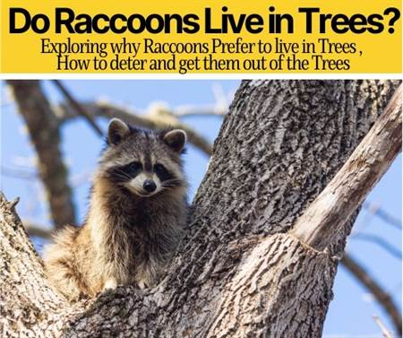 Do Raccoons Live in Trees - Can Raccoons Climb Trees?