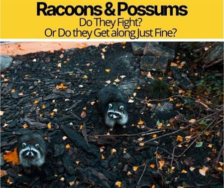 Do Raccoons and Possums Get Along - Do They FIGHT?