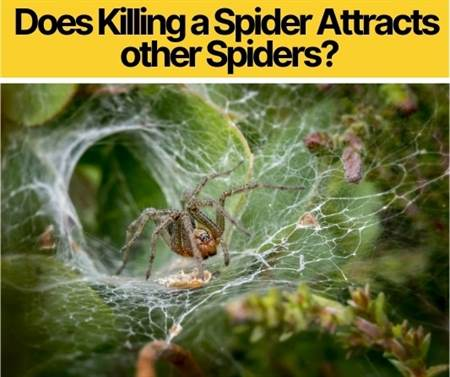 Does Killing a Spider Attract Other Spiders -Do they Revenge?