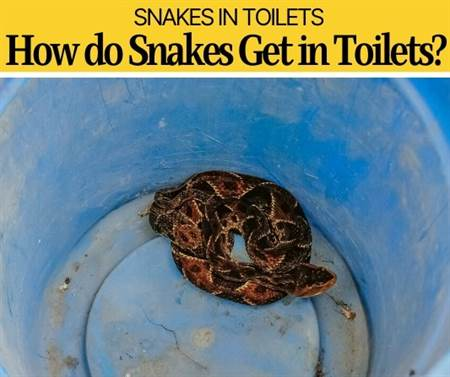 How Do Snakes Get In Toilets -Why Do Snakes Hide in Toilets?