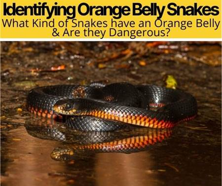What Kind of Snake has an Orange Belly -Orange Belly Snakes