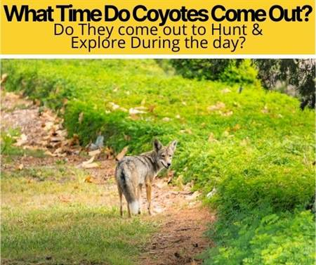 What Time Do Coyotes Come Out? Do they Hunt During The Day?