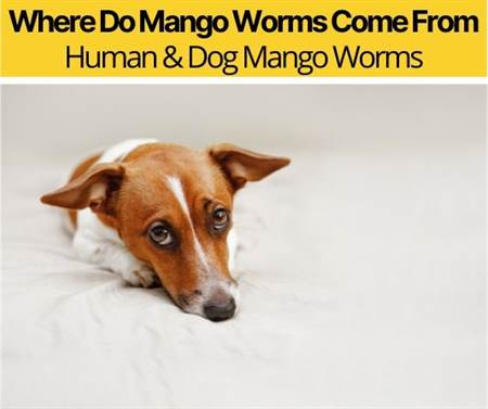 Where Do Mango Worms Come From - Human & Dog Mango Worms