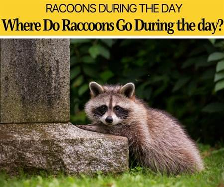 Where do Raccoons Go During the Day- Do They Come out During Day?