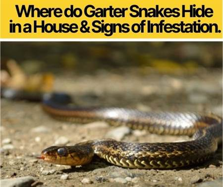 Where do Garter Snakes Hide in a House &Signs of Infestation