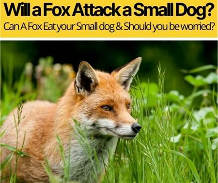 Will A Fox Attack A Small Dog – Should You Be Worried?