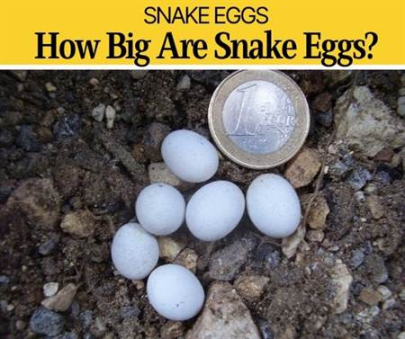 How Big are Snake Eggs (What do they Look Like?)