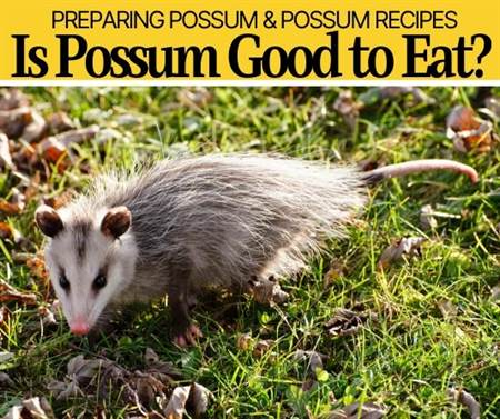 Is Possum Good to Eat - Can You even Eat Possums?