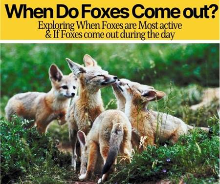 when do foxes come out