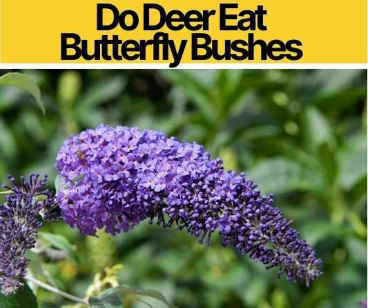 Do Deer Eat Butterfly Bushes - Are they Deer Resistant?