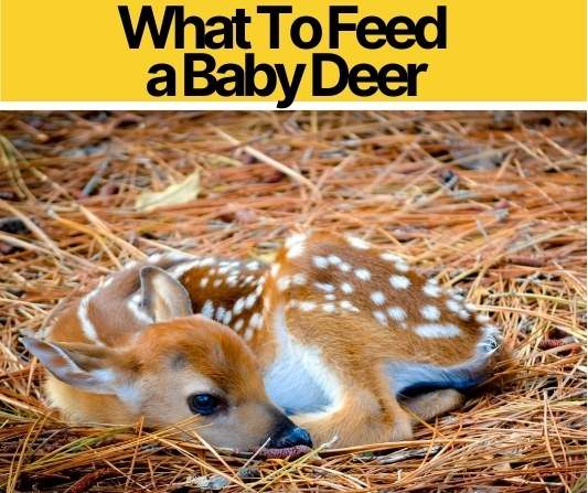 What Do You Feed A Baby Deer Fawn - Baby Deer Care Sheet