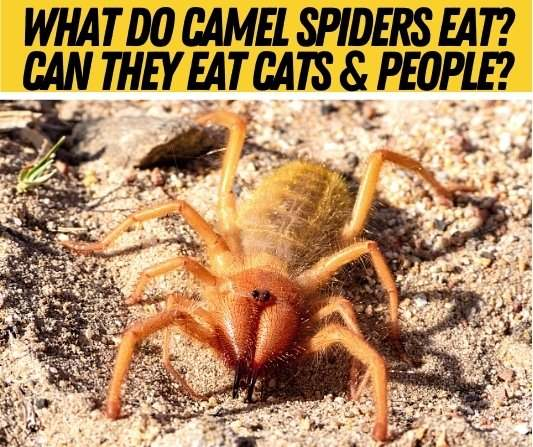 What Do Camel Spiders Eat - Diet & Food Camel Spiders Eat