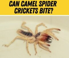 Do Camel Spider Cave Crickets Bite -Are they Poisonous?