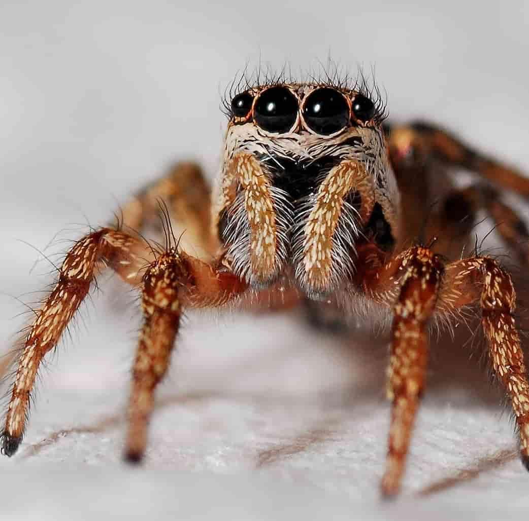 spider-macro-zebra-spider-insect-40795-min