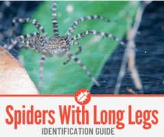 Spiders with Long Legs - Identification Guide of Long Legged Spiders