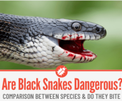 Are Black Snakes Poisonous or Dangerous? Do They Bite?