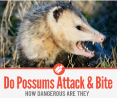 Do Possums Attack and Bite People - Are they Dangerous?