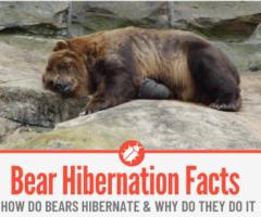 Bear Hibernation - Why Do Bears Hibernate & How Do they Do it!