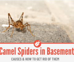 Camel Spider Crickets In Basement & How to Get Rid of Them from Basement