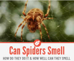 Can Spiders Smell -Do Spiders Have a Sense of Smell?