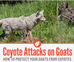 Will Coyotes Attack & Eat Goats -How to Protect Goats From Coyotes