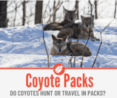 Do Coyotes Hunt & Travel In Packs?