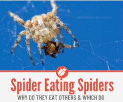 Do Spiders Eat Other Spiders - Comparison Between Spiders