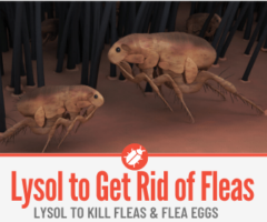 Does Lysol Kill Fleas -In Home & On Pets