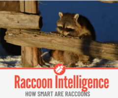 How Smart Are Raccoons - Raccoon Intelligence FACTS