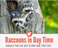 Raccoons out During the Day- Why & Are Raccoons Nocturnal?
