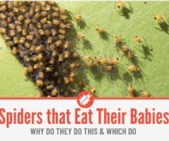 Do Spiders Eat Their Babies? Spiders that Do & Reason Behind it.