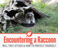 Encountering a Raccoon -What to Do If a Raccoon Approaches You
