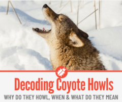 Why do Coyotes Howl - Decoding The Coyote Howl