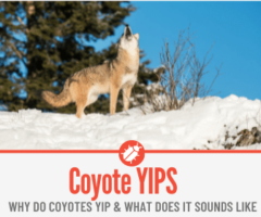 Why Do Coyotes Yip - Understanding Coyote Yipping Sounds