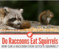 Do Raccoons Eat Squirrels
