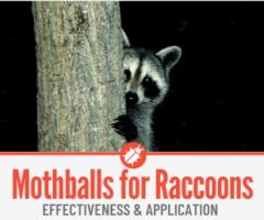 Do Mothballs Keep Raccoons Away? Mothballs To Repel Raccoons