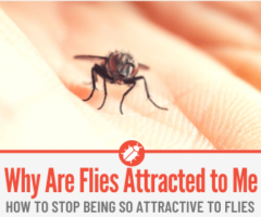Why are Flies Attracted to Me & Land on me