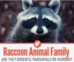 Are Raccoons Rodents , Marsupials or Vermins?