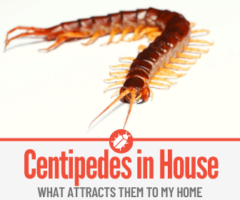What Attracts Centipedes to my House & Where Do They Come From