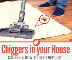 Chiggers In Your House -Signs & How to Get Rid of Them
