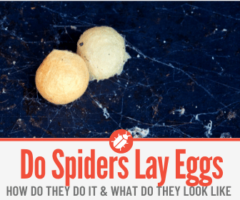 Do Spiders Lay Eggs - How, When & How many Eggs!